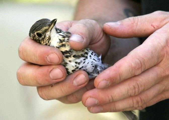 La Ligue de protection des oiseaux (LPO) s'insurge contre la technique de la chasse à la glu qui n'est pas sélective.