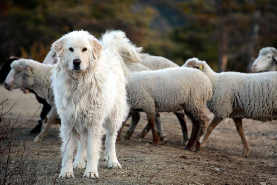 Les chiens de protection ont très souvent une mauvaise vue et ont besoin de vous identifier.