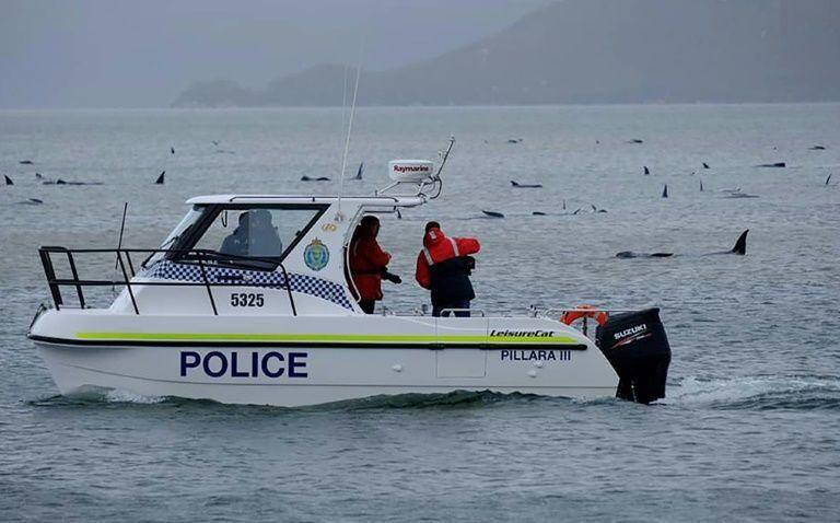 Une course contre la montre s'est lancée en Tasmanie pour sauver les 180 cétacés.