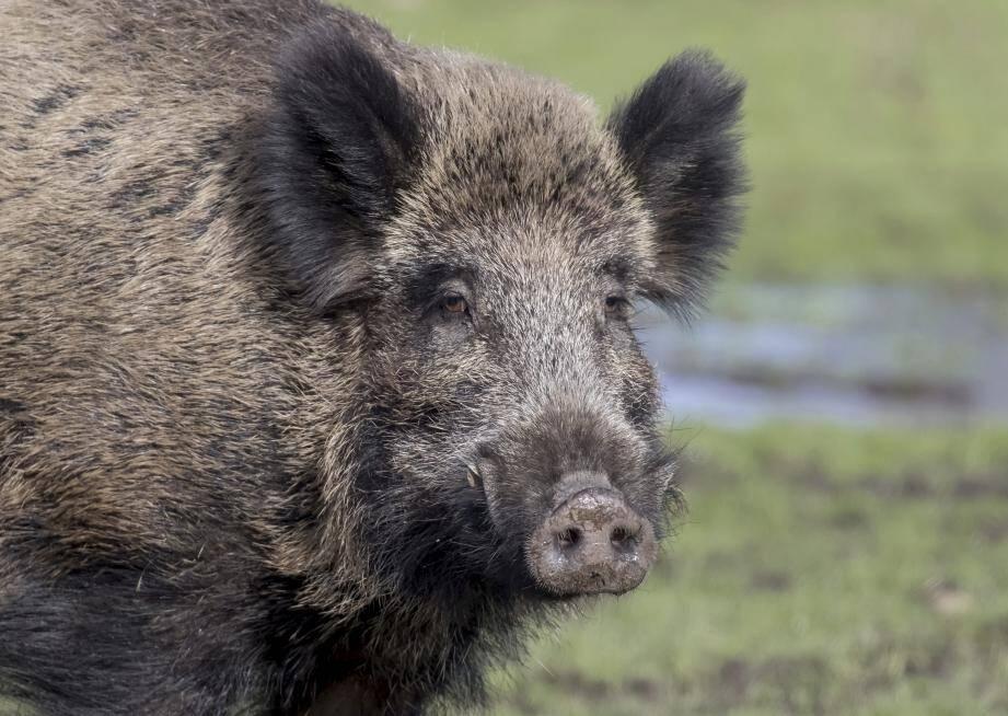 Illustration    ©Collection Watier/Maxppp - Sanglier d'Europe ( Sus scrofa ) ; Le Sanglier, est une espèce de mammifères omnivores, forestiers de la famille des Suidés ; Le sanglier, qui peut infliger de gros dégâts aux cultures, est classé nuisible dans une grande partie de la France. On le chasse à tir, à courre ou en battue. Les chasses sont fréquemment repeuplées à partir d'élevages dont la production égale la production naturelle. (MaxPPP TagID: maxwatier479177.jpg) [Photo via MaxPPP]