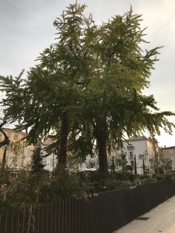 Place des Martyrs-de-la-Résistance, le gingko biloba veille sur la vieille ville.