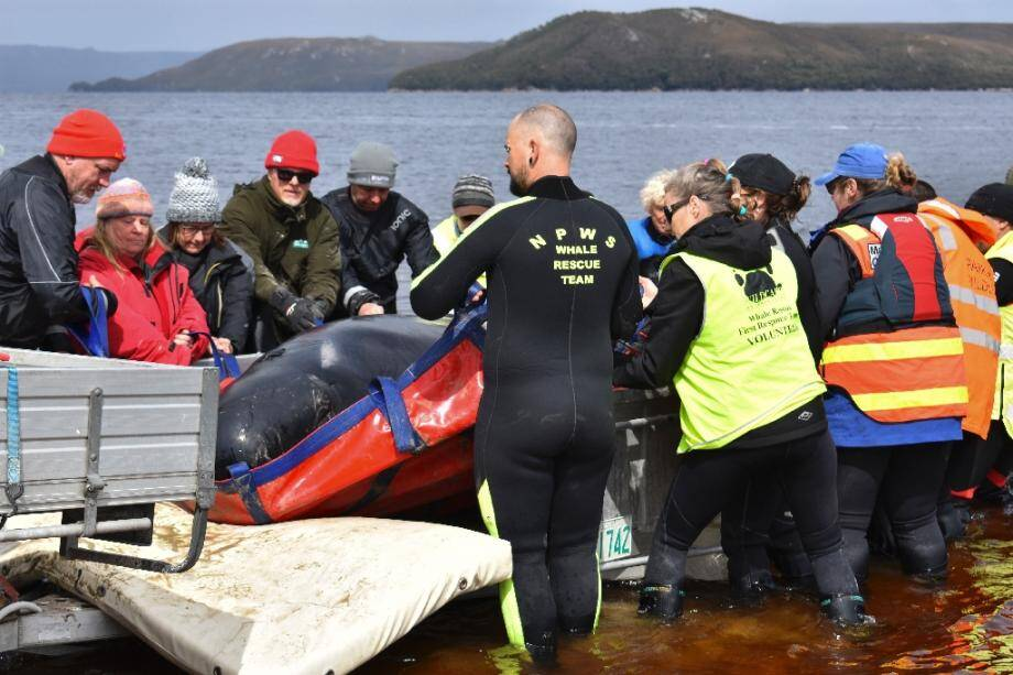 Des sauveteurs installent un dauphin-pilote sur une remorque pour le transporter, le 24 septembre 2020 à Macquarie Harbour, sur la côte ouest de la Tasmanie.