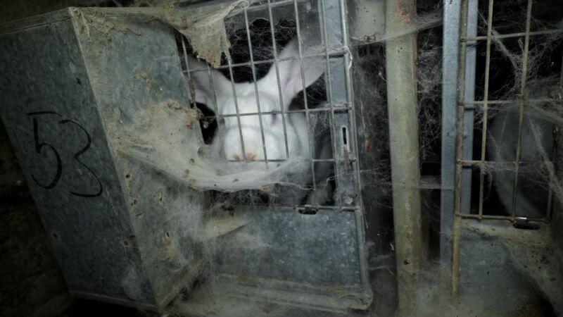 Sur les images, on voit notamment des lapins entassés dans ces cages, sans accès à l'air libre, d'autres gisant sur des déjections ou jetés dans des poubelles.