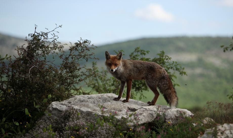 Objectif: faire retirer les renards de la liste des espèces susceptibles d'occasion des dégâts.