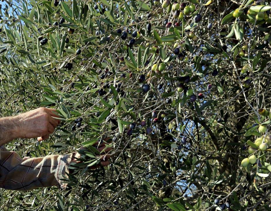 Jean Gault est le garant de l'héritage patrimonial des oliviers du Pays de Fayence.
