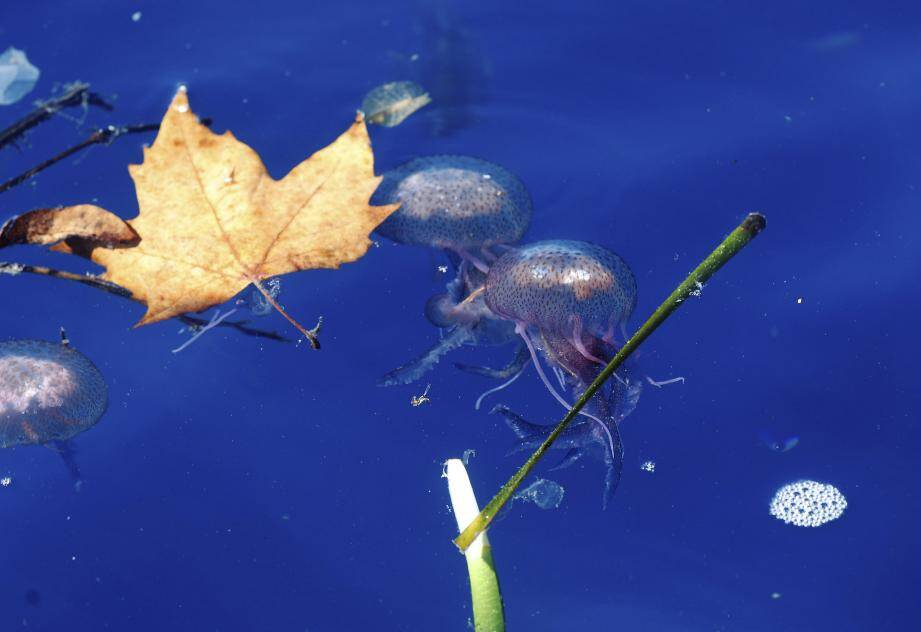 Ces méduses sont aussi signe de pollution.