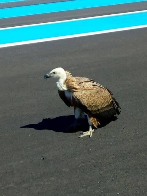 L'animal a été récupéré sur la piste pas un pompier du circuit avant d'être confié.