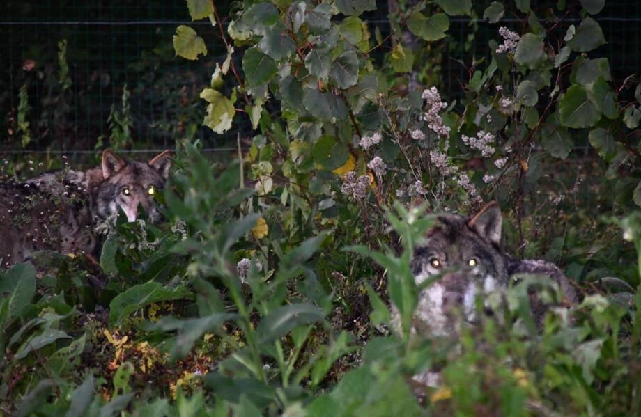 Une fois attrapés, les loups sont censés rejoindre le reste de la meute, confiée au Sanctuaire des loups, un refuge spécialisé, dans les Deux-Sèvres.