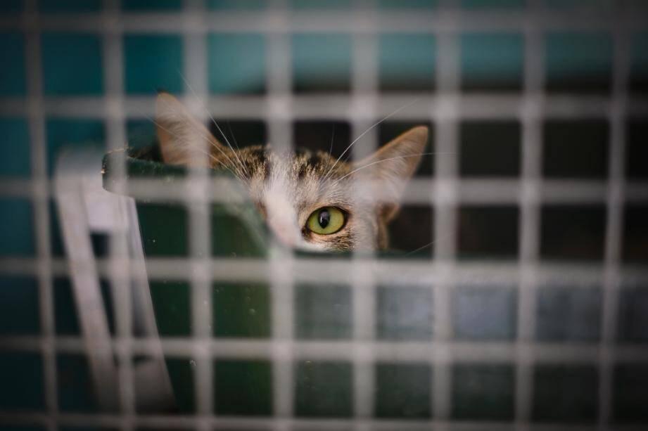 Un chat dans un refuge de la SPA à Gennevilliers (Hauts-de-Seine), le 13 août 2019