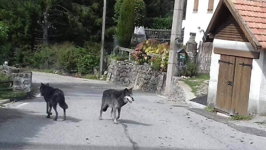 Une habitante de la Vésubie a photographié deux loups du Canada sur la route du Boréon, lundi, en début d'après-midi. Ils auraient survécu à la tempête.