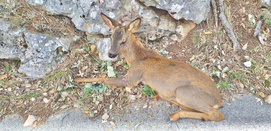 L'animal renversé route de Mons, à Fayence, par une voiture a été soigné avant de retrouver sa liberté. Il a repris le chemin de la forêt dimanche.