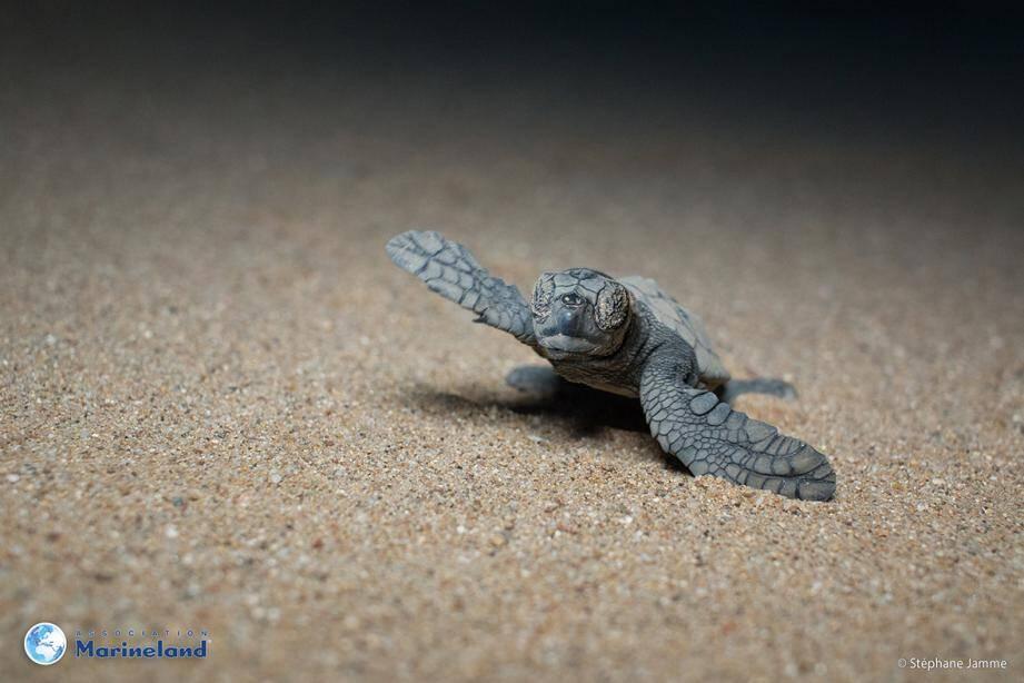 La toute dernière tortue, à Saint-Aygulf, a gagné la mer jeudi dernier, après 80 longs jours d'incubation.