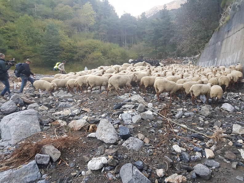 Armand Giordano et son troupeau rescapé de la tempête Alex redescend du col de tende sur Vievola, aidé par des amis bergers bénévoles