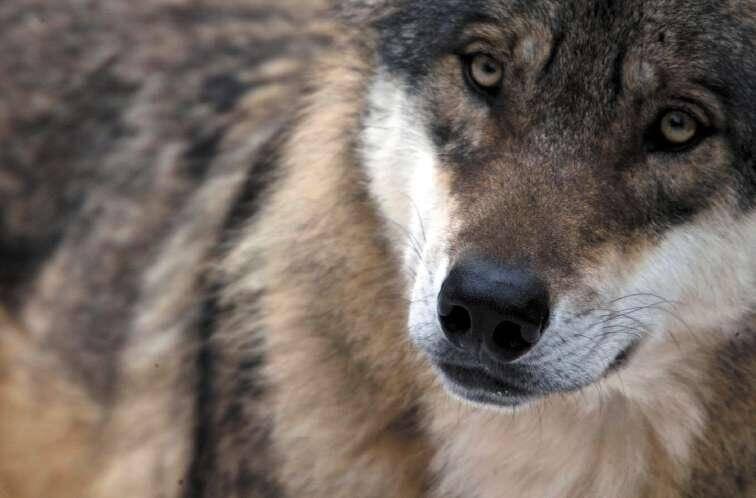 La présence du loup dans le Mercantour, superbe animal mais terrible prédateur, n'en finit pas de faire polémique.