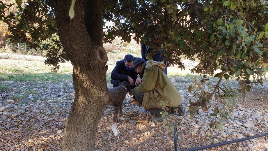 Démonstration de recherche de truffes avec un chien de race Lagotto-Romagnolo.