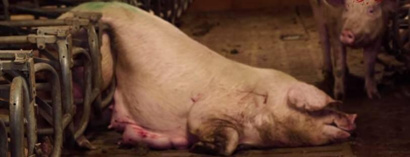 Image extraite de la vidéo de L214.
