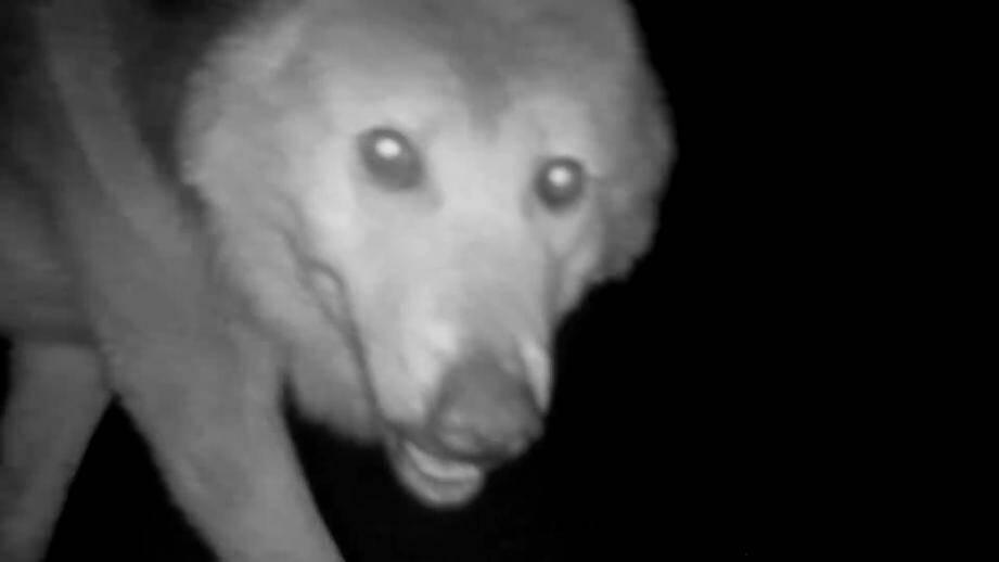 Le mâle Alpha de la meute de loups du Canada s'est approché très près du piège photographique.