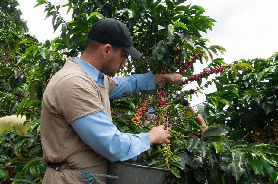 Du choix des cerises de café vert dépend le goût et la qualité du café. Un savoir-faire que maîtrise parfaitement le torréfacteur de Green Coffee Monaco.