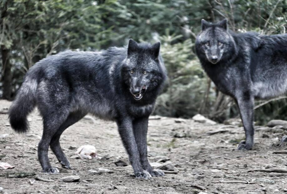 Selon l'office français de la biodiversité, au moins un loup du Canada a été tué par l'homme.