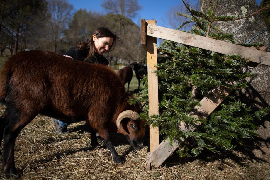 Olivia Brelurut pense récupérer une trentaine de sapins pour l'hiver. L'année prochaine, elle compte récupérer des grignons d'olives pour ses moutons du Cameroun.