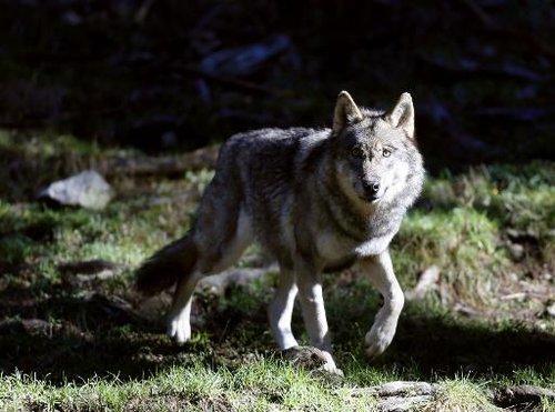 Un loup photographié le 13 novembre 2012 à Saint-Martin-Vésubie dans le parc du Mercantour.
