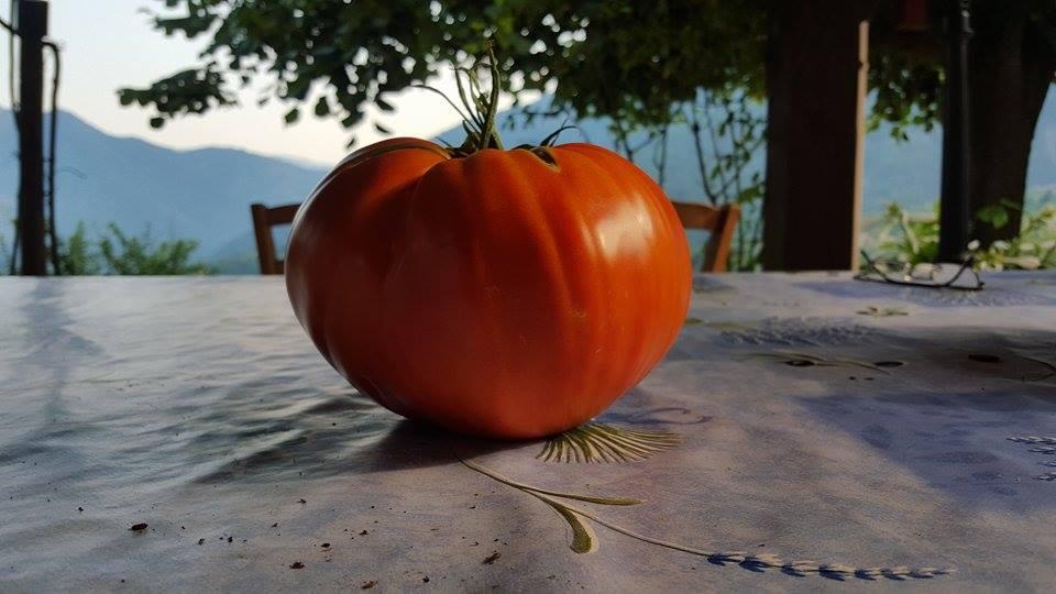 Une tomate d'1,1 kilo à Roquebillière.