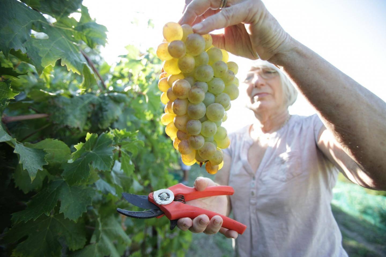 Hier matin, trois tonnes de raisins blancs ont été récoltées sur le domaine Saint-Joseph. La vendange du raisin rouge est prévue à la fin du mois.