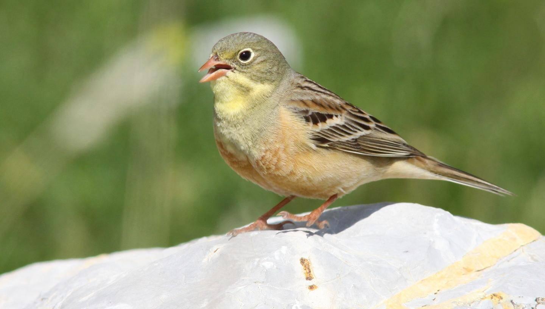 Le bruant est un petit oiseau migrateur qui apprécie particulièrement la douceur du Sud de la France. Il se décline dans de nombreuses variétés.  Ici, le bruant ortolan qui se distingue par sa gorge jaune pâle. « En tout, il existe une quarantaine d'espèces de bruants, précise Georges Martin, l'ortolan et le jaune sont les plus répandus sur la région ».  « Ces oiseaux nicheurs ne sont pas visibles en hiver mais, aux beaux jours, il n'est pas rare de les apercevoir aux environs de Trigance ou encore de La Bastide », précise le responsable de la LPO. De manière générale, ils aiment les zones ouvertes, avec quelques arbres où ils peuvent s'abriter.  Dans le même genre, il y a les fauvettes qui, elles aussi, sont connues sous de nombreuses appellations : grisette, orphée ou passerinette.