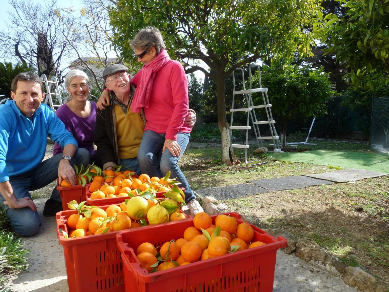 La cueillette anti-gaspi est terminée, les bénévoles ont ramassé 70 kg d'oranges amères.