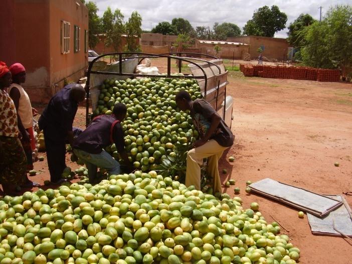 La coopérative produit près de 300 000 tonnes de mangues fraîches par an