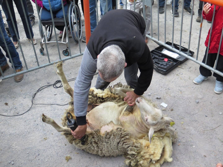 Démonstration de tonte de mouton par Jérôme Bouéri.
