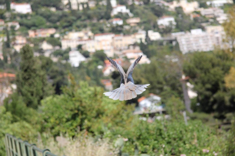 Pigeon... vole !