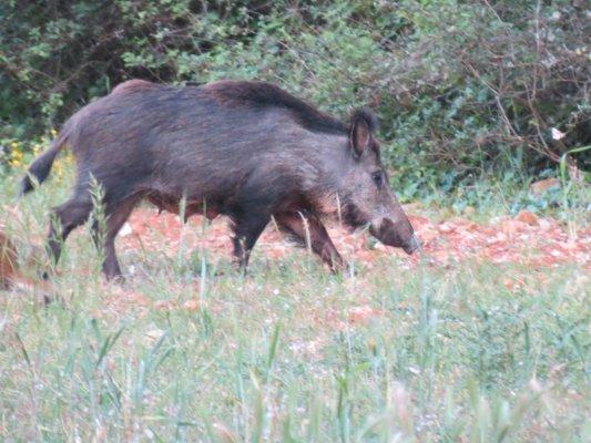 L'un des nombreux sangliers qui ont pris leurs habitudes sur l'exploitation de La Roquebrussanne, immortalisé par Pierre Venel un matin d'été.