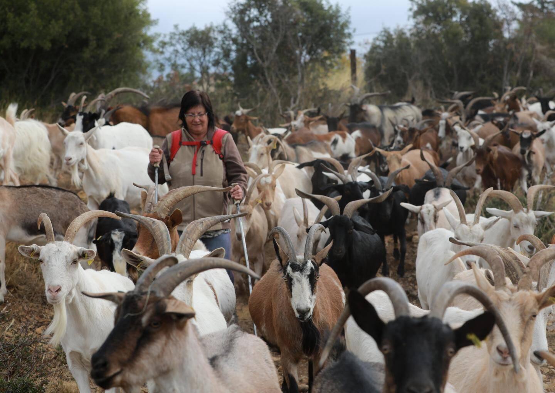 """Christine Magnaldi conduit quotidiennement son troupeau de chèvres dans les collines où """"depuis neuf ans, ça n'a jamais été aussi sec""""."""