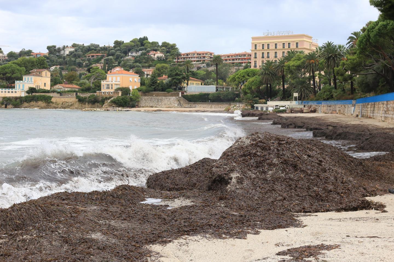 Les coups de mer amènent sur la baie des Fourmis la posidonie, une plante aquatique protégée. La mairie cesse de nettoyer à la mi-septembre.