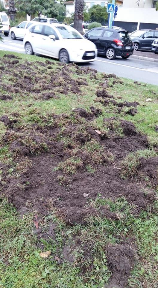 Des sangliers labourent des pelouses du Careï à Menton