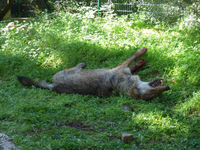 Les gendarmes ont poursuivi l'animal, qui a gagné le centre de La Favière. Il a été abattu de deux balles, tout près des habitations.