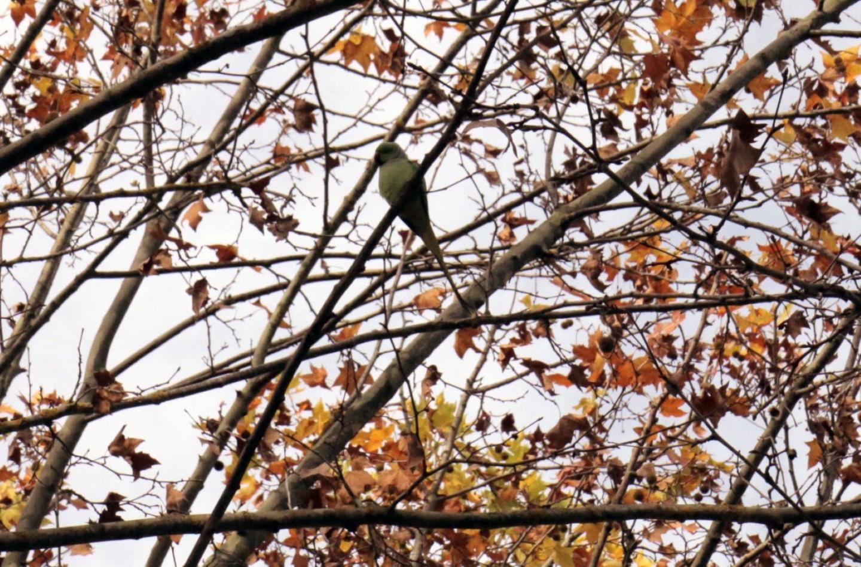 Un tout récent arrêté préfectoral prescrit la lutte contre les perruches à collier.