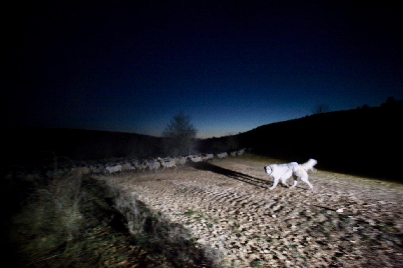 Ce soir-là, le troupeau est surveillé par treize patous.
