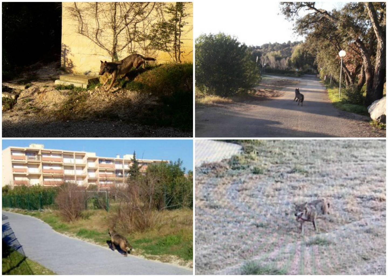 Le 14 février dernier, un loup perdu dans un camping de Bormes a été abattu par les gendarmes. Un autre a été aperçu la semaine dernière à l'aéroport de La Môle (en bas à droite).