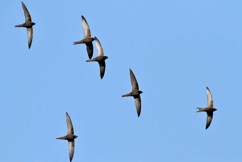 Les martinets noirs arrivent fin mars dans la région et repartent en juillet.