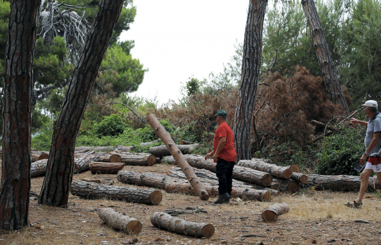 Il n'y aura bientôt plus d'eucalyptus sur l'île.