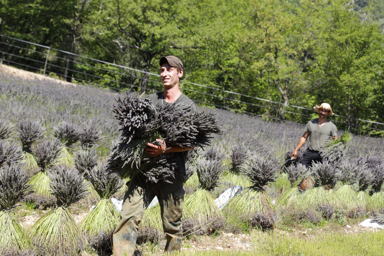 Le lavandin commence à fleurir au mois de mai. La récolte se fait en juillet.