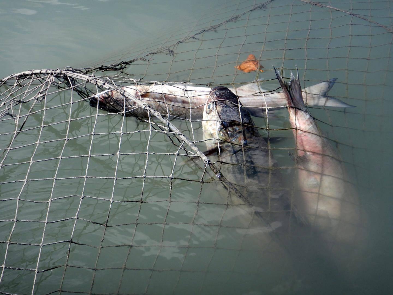 Ce filet de type nasse a été retrouvé dans le bras droit du fleuve derrière la station d'épuration. À l'intérieur plusieurs gros poissons.