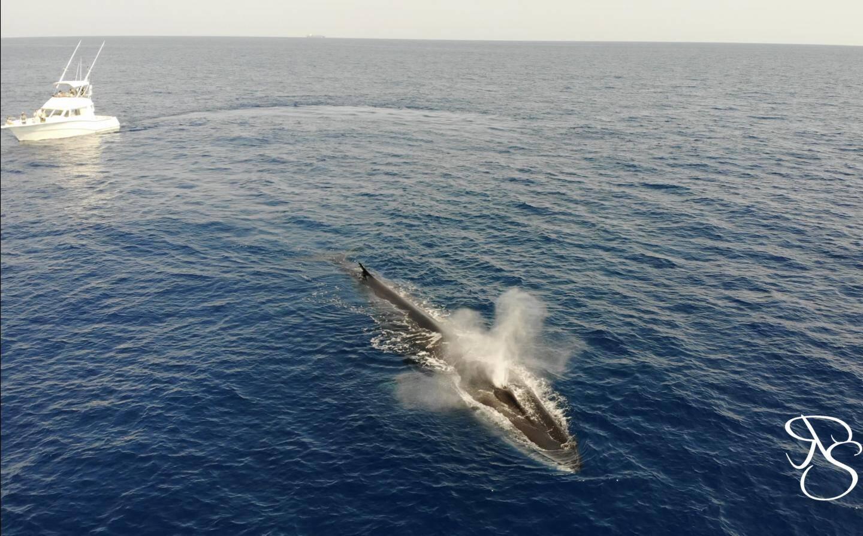 Un rorqual photographié à bord du Papeete II.