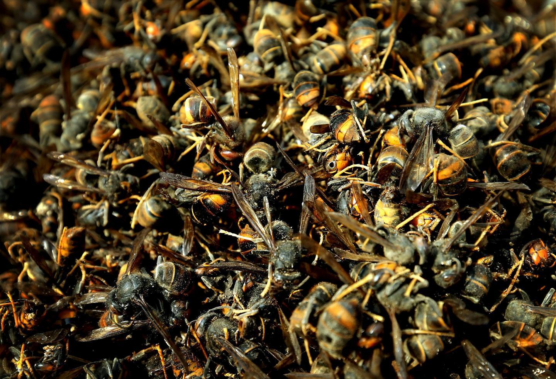 Le frelon asiatique est une véritable plaie pour les apiculteurs. En haut à droite : un frelon européen (abdomen jaune) et un frelon asiatique (abdomen noir).