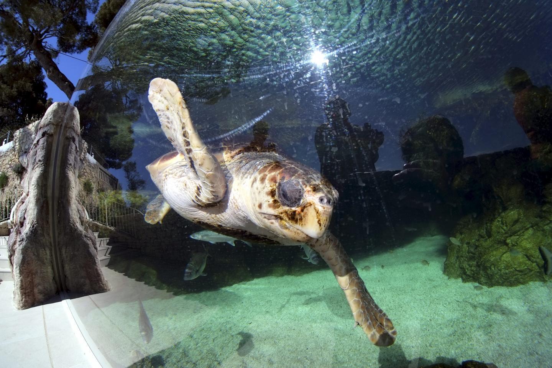 Les tortues toujours stars au Musée océanographique.