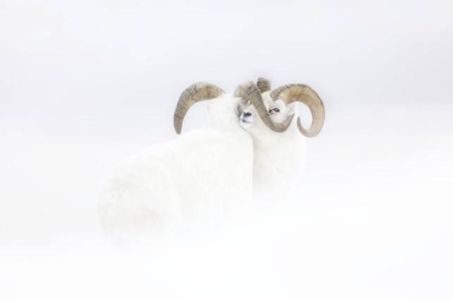 Dans un face-à-face immobile, sur une pente neigeuse, deux mouflons de Dall dans leur fourrure hivernale, affrontent un vent violent.