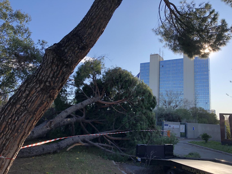 Un pin pararsol s'est affaissé devant la deuxième entrée du centre administratif des Alpes-Maritimes.