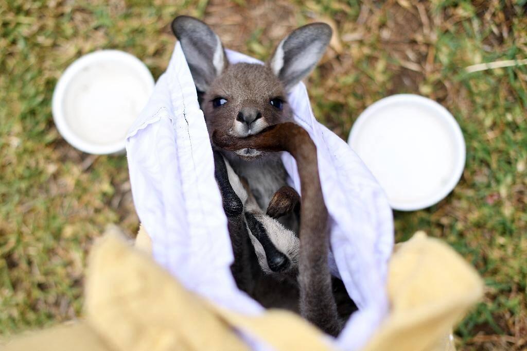 Un kangourou sauvé des feux de forêts par des bénévoles, le 8 janvier 2020 près de Sydney, en Australie